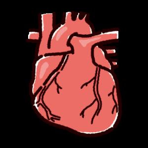 心臓のイラスト(内臓・臓器)