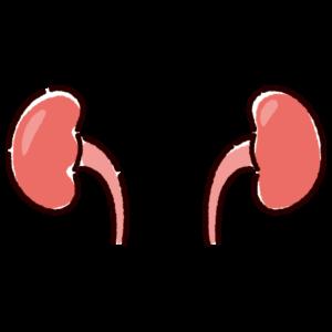 腎臓のイラスト(内臓・臓器)